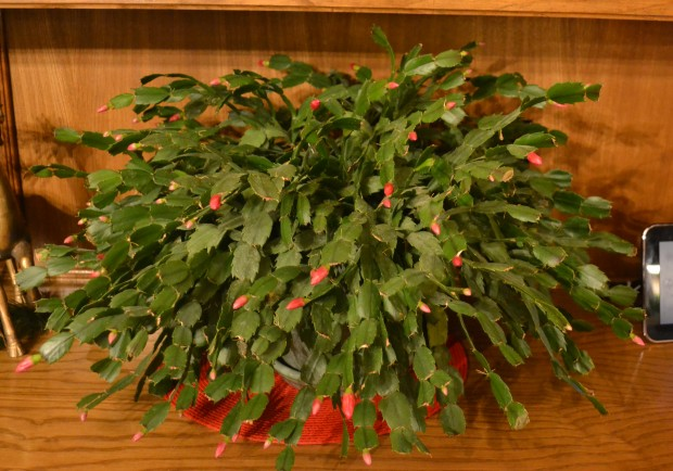 This might be the largest christmas cactus i have ever seen won t