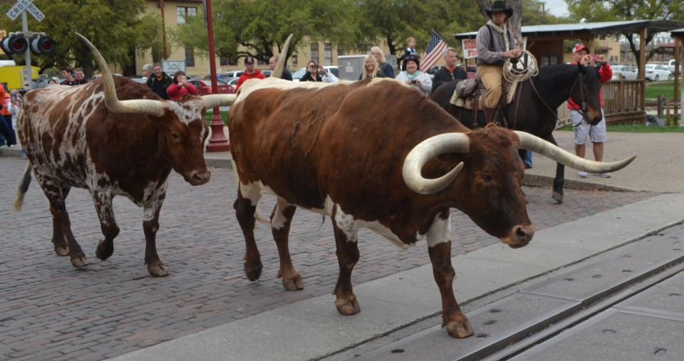 Fort Worth Herd Longhorn Cattle Drive Fort Worth Stockyards