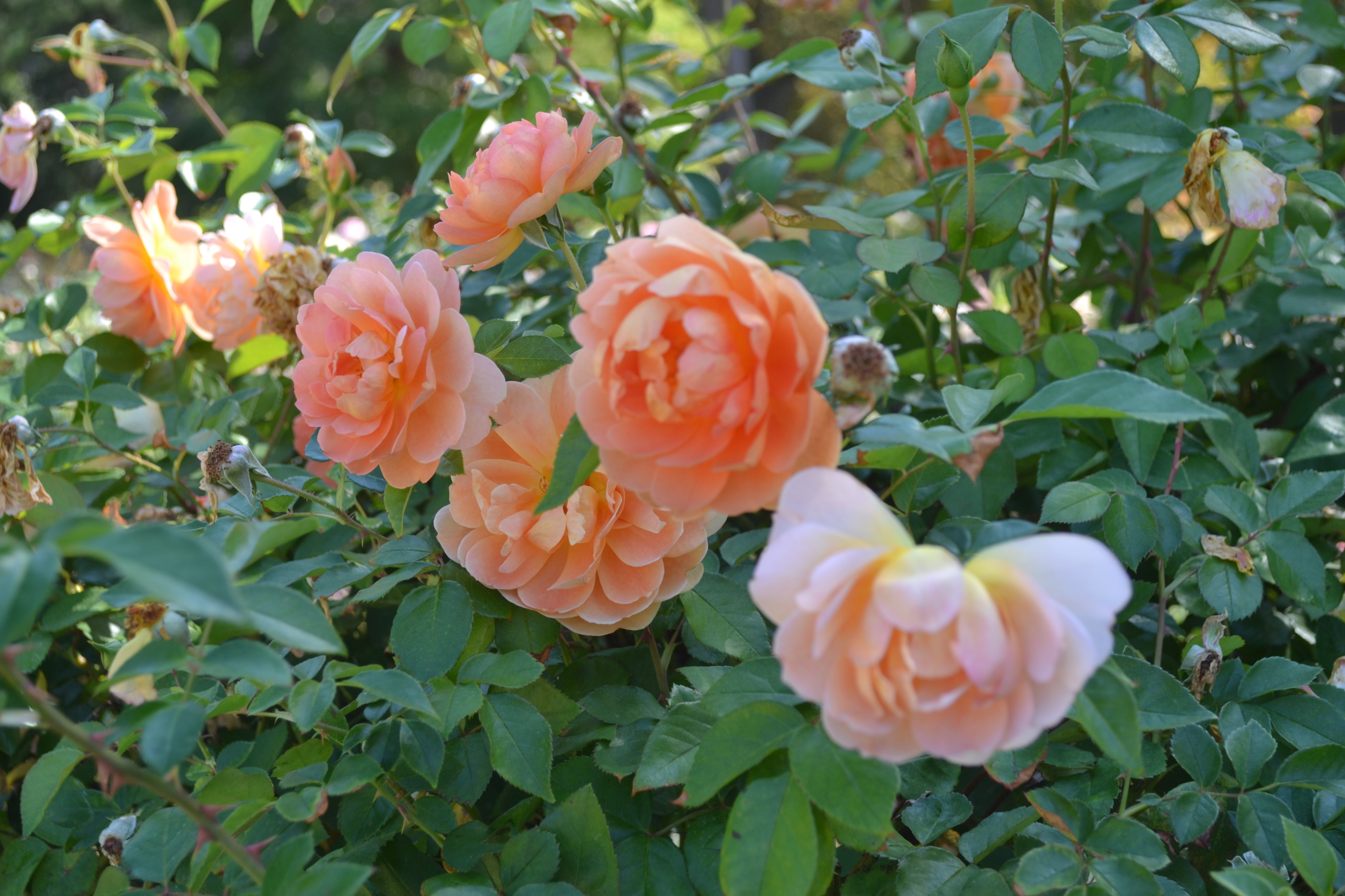 Roses In Garden: Tyler Rose Garden And Rose Museum