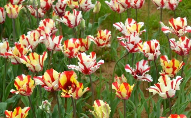 Texas Tulips